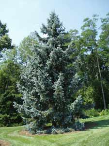 Picea Pungens Thomsen