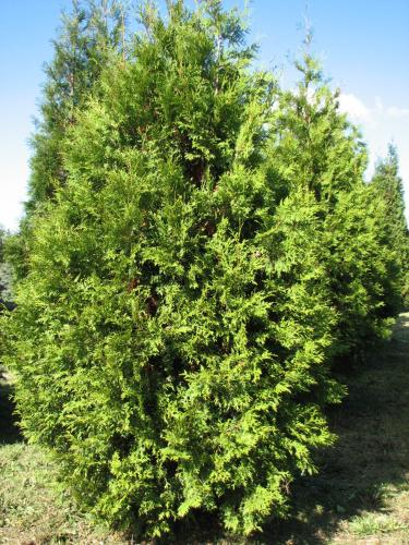 rich 39 s foxwillow pines nursery inc thuja occidentalis 39 brabant 39 eastern arborvitae. Black Bedroom Furniture Sets. Home Design Ideas