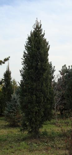 Richs Foxwillow Pines Nursery Inc Picea Abies Cupressina
