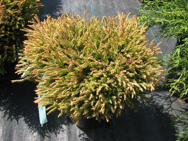 Rich S Foxwillow Pines Nursery Inc Thuja Occidentalis