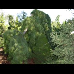 Weeping Eastern White Pine