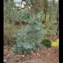 Concolor Fir / White Fir