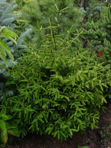 Rich S Foxwillow Pines Nursery Inc Picea Orientalis