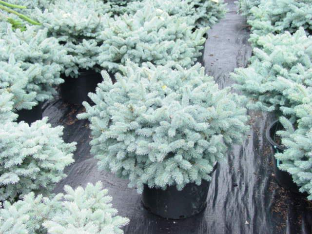 Rich S Foxwillow Pines Nursery Inc Picea Pungens